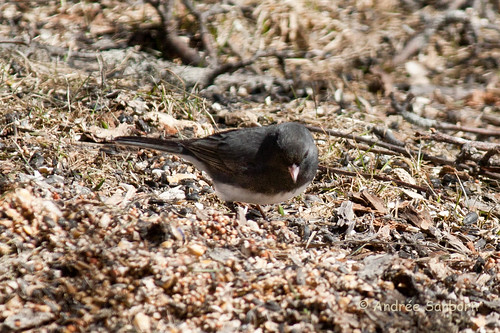 Dark-eyed Junco (2 of 3).jpg