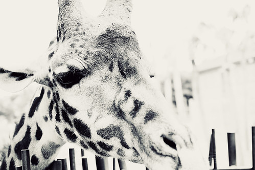 giraffe: up close