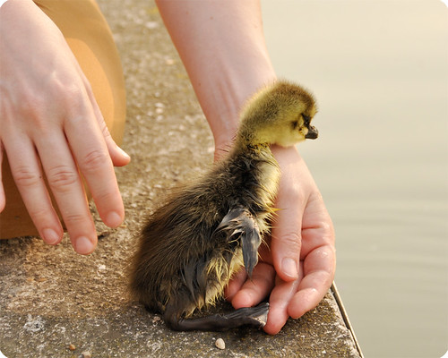 the duckling who hated the water