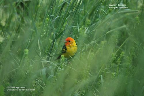 Western Tanager - Piranga ludoviciana