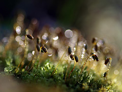 moss shoots (zioquattroterzi) Tags: light macro moss bokeh shoots muschio luce germogli underwood sottobosco