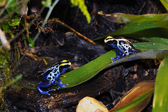 Dendrobates Tinctorius Tafelberg (Drriss) Tags: macro frogs herpetology dendrobatestinctorius dendrobatidae poisondartfrogs tinctorius taxonomy:order=anura taxonomy:genus=dendrobates taxonomy:binomial=dendrobatestinctorius taxonomy:family=dendrobatidae taxonomy:species=tinctorius taxonomy:superfamily=dendrobatoidea taxonomy:subfamily=dendrobatinae dendrobatestinctoriustafelberg