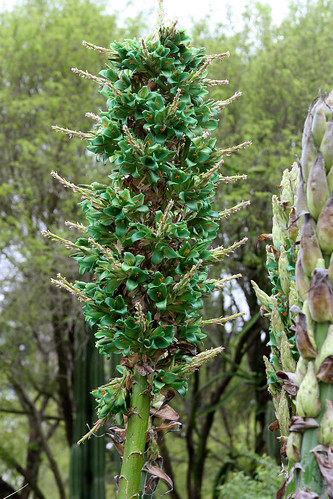 huntington mystery puya green