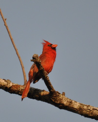 cardinal palmetto