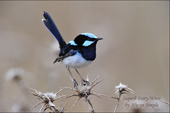 0506_3635 Superb Fairy Wren - Glen Davis (alwynsimple) Tags: superb wren fairywren