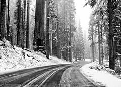 (Swastika G) Tags: california road trees snow giant blackwhite sequoia sequoianationalpark generalshighway generalshwy ourgreatamericanroadtrip