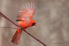 A53F1708-Edit  Northern Cardinal (~ Michaela Sagatova ~) Tags: male bird nature fauna dundas cardinaliscardinalis northerncardinal dvca michaelasagatova