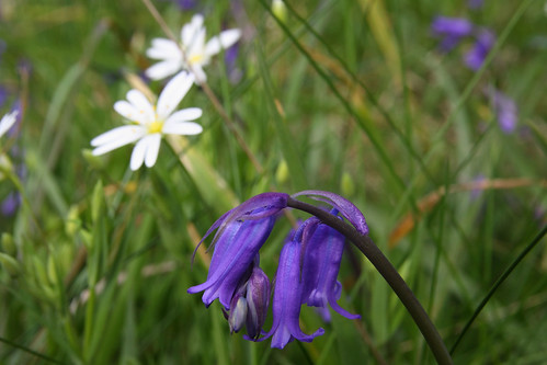 Wild hyacinth and greater stitchwort