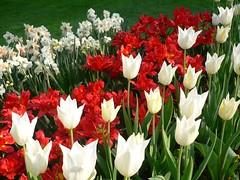 Tulips (Luigi Strano) Tags: flowers flores fleurs tulips blumen fiori flori  tulipani masterphotos