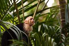 Capuchin monkeys (DaveMosher) Tags: vacation costarica monkeys tropics centralamerica manuelantonio capuchinmonkey costaverde