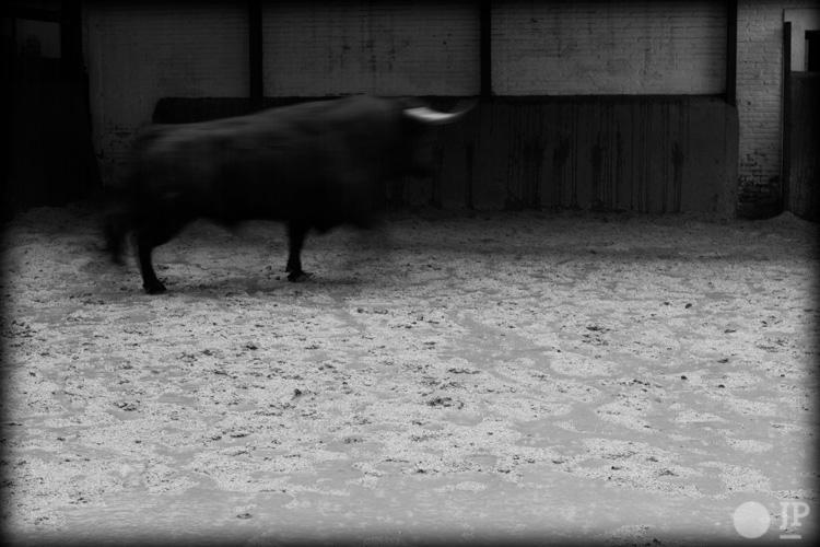 Toro-Conde-de-la-Corte-6