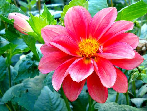 Flowers@ Victoria flower garden -Nuvereliya