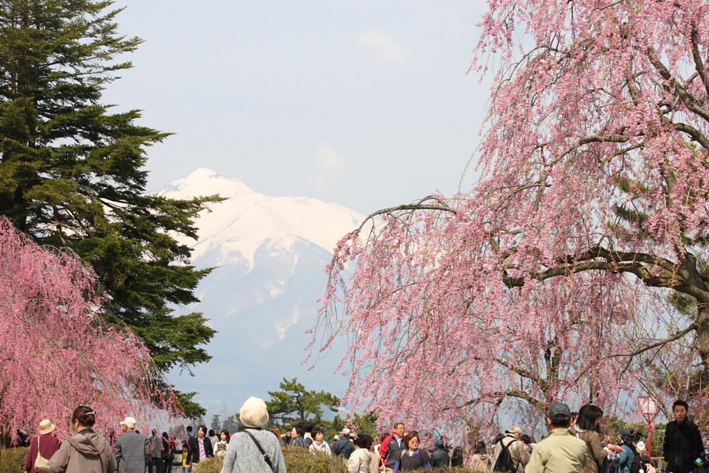 Hirosaki Park Sakura (17)