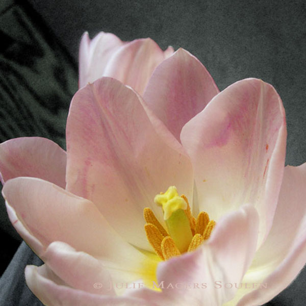 a spring floral photo of a blushing pink tulip with morning sun lighting up the delicate petals