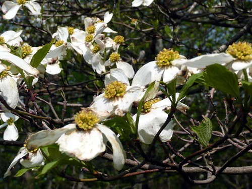 Dogwood Blossoms by RV Bob