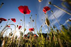 I papaveri e il riflesso (Emanuele Spano') Tags: verde primavera natura cielo rosso prato ohhh papaveri ecologia nikonflickraward superstarthebest mygearandme mygearandmepremium mygearandmebronze mygearandmesilver mygearandmegold mygearandmeplatinum mygearandmediamond