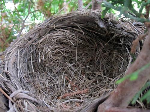 Empty robin nest