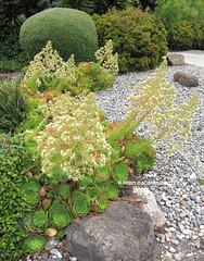 Unknown aeonium, anyone know it? (Kelley Macdonald) Tags: succulents aeonium
