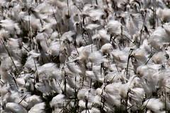 Common Cottongrass (Roger B.) Tags: unitedkingdom sheffield bog southyorkshire gbr cottongrass eriophorum eriophorumangustifolium rocherbog cottonsedge