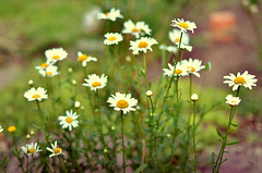 Daisies (Simply Vintagegirl) Tags: life summer brown white flower green floral sunshine sign yellow daisies evening spring grow fresh pot dirt daisy growing patch