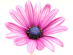 Project 365 - 6/11/2011 - 162/365 (cathy.scola) Tags: flower macro purple whitebackground daisy onwhite project365