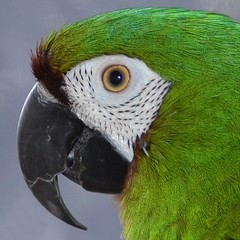 Herbie (RLBrinkman~in and out-mostly out) Tags: birds pars parrots parrotsr4ever
