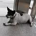 Thai street dog 2