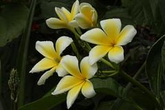 Frangipani in Full Bloom (flutterbye216) Tags: flower canon frangipani fl challengeclubchampion