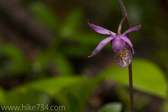 """Fairy Slipper • <a style=""""font-size:0.8em;"""" href=""""http://www.flickr.com/photos/63501323@N07/5886138439/"""" target=""""_blank"""">View on Flickr</a>"""