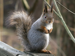 Classic Pose (TomiTapio) Tags: face pose fur helsinki eyes squirrel fuzzy iso400 tail ears wintercoat redeye orava paws floofy écureuil sciurusvulgaris sqrl eartufts inbuiltflash eurasianredsquirrel kurre pihlajisto canonef90300mmf4556usm winterfur