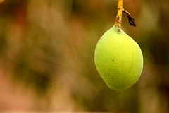 The First Glimpse. (Parth Jhala) Tags: summer green nature fruits canon eos dof mango hyderabad 550d