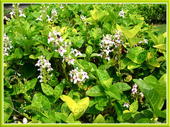 Pseuderanthemum reticulatum shrubs, used as low hedges in the landscape garden, May 9 2011