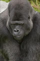 Penny For Them (mini-b) Tags: nature canon kent wildlife gorillas silverback portlympne photographyday eos5dmkii aspinallfoundation