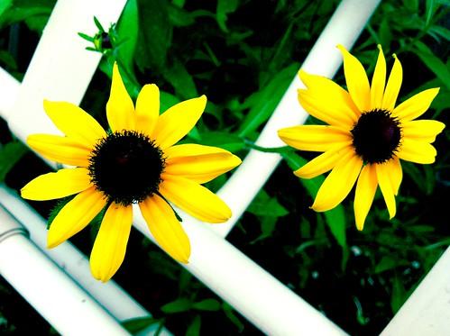 [184/365] Black Eyed Susans by goaliej54