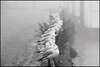 winter visitors (jonron239) Tags: morning winter mist london fog thames richmond blackheadedgull winterplumage