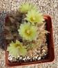 Frailea pseudopulcherrima (shoalcreeksucculents) Tags: frailea