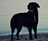Bones am Strand 2 (juhlsofficial) Tags: ocean dog beach strand golden labrador sommer retriever hund bones bums bordercollie knochen bumms töle adhs bummsi
