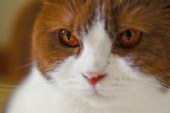 Amber Molly (der.slax) Tags: brown white cat amber katze braun bernstein weis