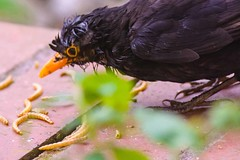DSC_8103 (Julian R Rouse) Tags: garden nikon worcestershire blackbird moulting droitwich julianrouse