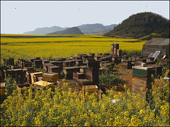 Hives & Bees (Christian Lagat) Tags: china flowers yellow fleurs jaune bees champs hills honey miel fields  yunnan chine abeilles hives rapeseed collines colza  luoping  ruches sonynex6