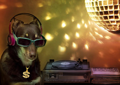 DJ Alley in da house (aussiegall) Tags: music dog records ball disco ally dj 14 vinyl player kelpie in2014
