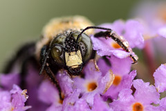 Morning Dew (dbifulco) Tags: buddleia carpenterbee dew flowers garden insect macro male nature newjersey nikkor105f28 purple wildlife