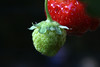 IMG_4982.1 (rawEarth) Tags: strawberries strawberryseeds greenstrawberry redstrawberry macro tubeextensions food plant fruit