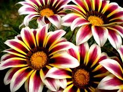 Tonos (Campanero Rumbero) Tags: flowers naturaleza flores nature plantas colombia bogota colores tonos