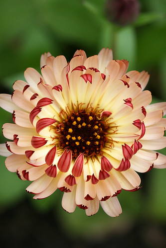 calendula_bronzed_beauty