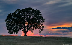 The Favorite Oak (Tony Immoos) Tags: california sunset tree grass clouds landscape oak olympus explore e3 sacramentocounty 1000views californialandscape zd nd8 ndgrad zuikodigital p121f 1260mm olympuse3 theloneoak