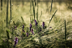 im Feld (cznr) Tags: flowers nature field wildflower photographyforrecreation
