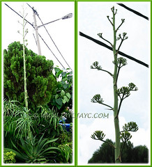 Agave desmettiana (Smooth Agave, Smooth/Dwarf Century Plant) with panicles of buds on its 3m tall flowering spike - April 15 2011