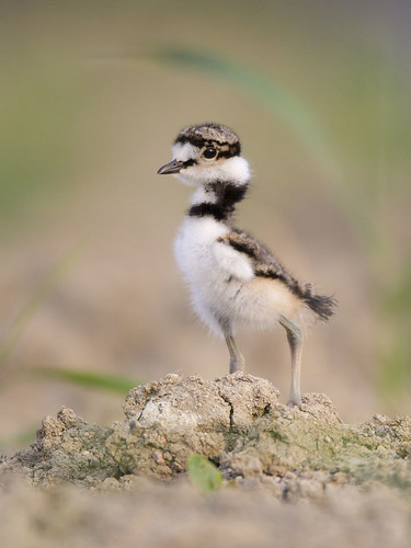 Carolle's Little Killdeer 2 by Jeff Dyck