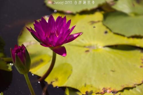20110620白河蓮花季-5803